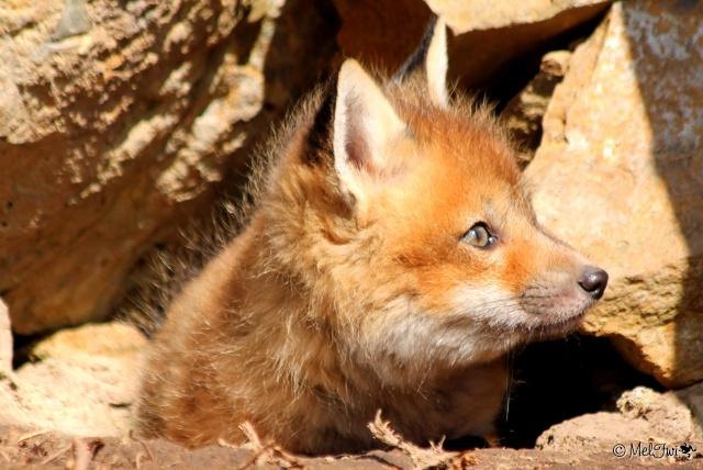 Maman renard et bébés renardeaux :D 051b10