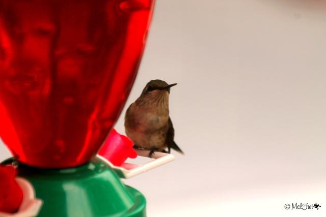 Colibri 215b10