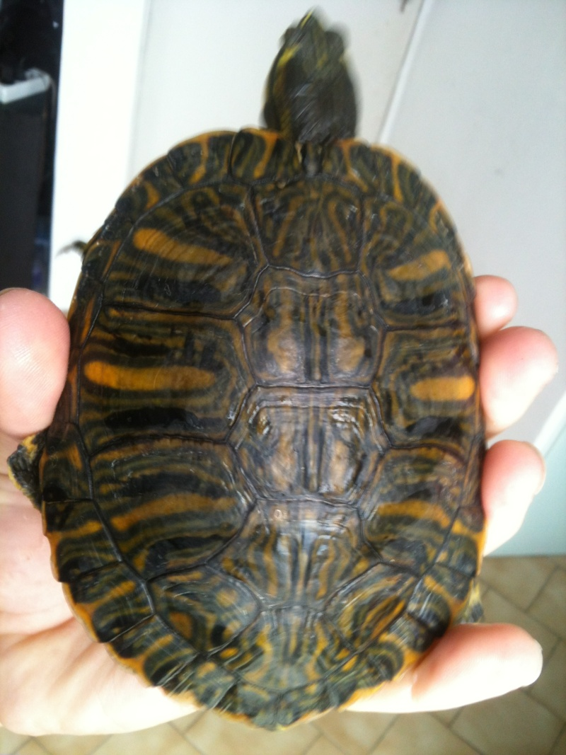 trachemys souche pure ? 01611