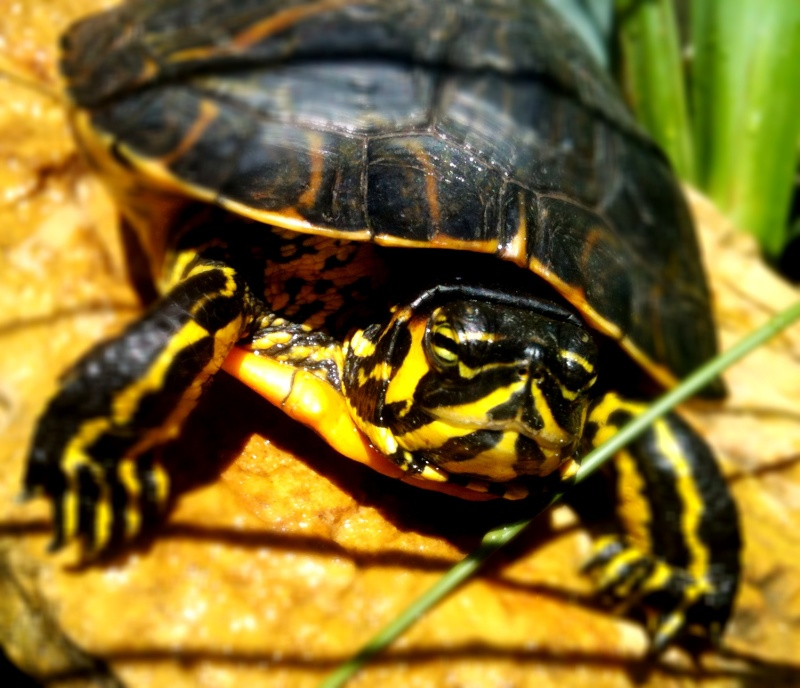 Ma Yellow Bellied Slider  04910