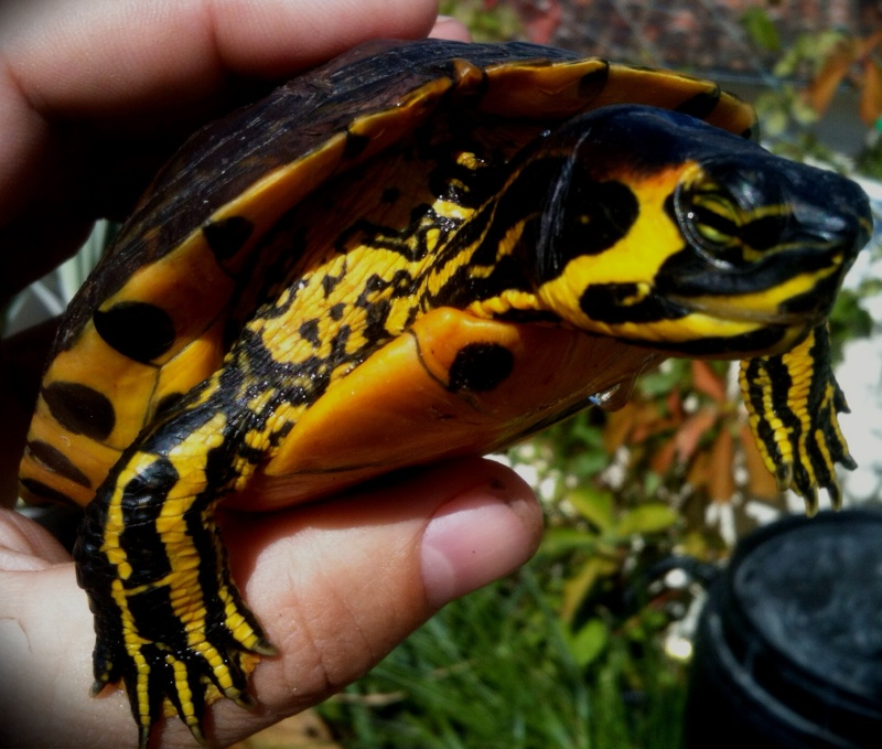 Ma Yellow Bellied Slider  05510