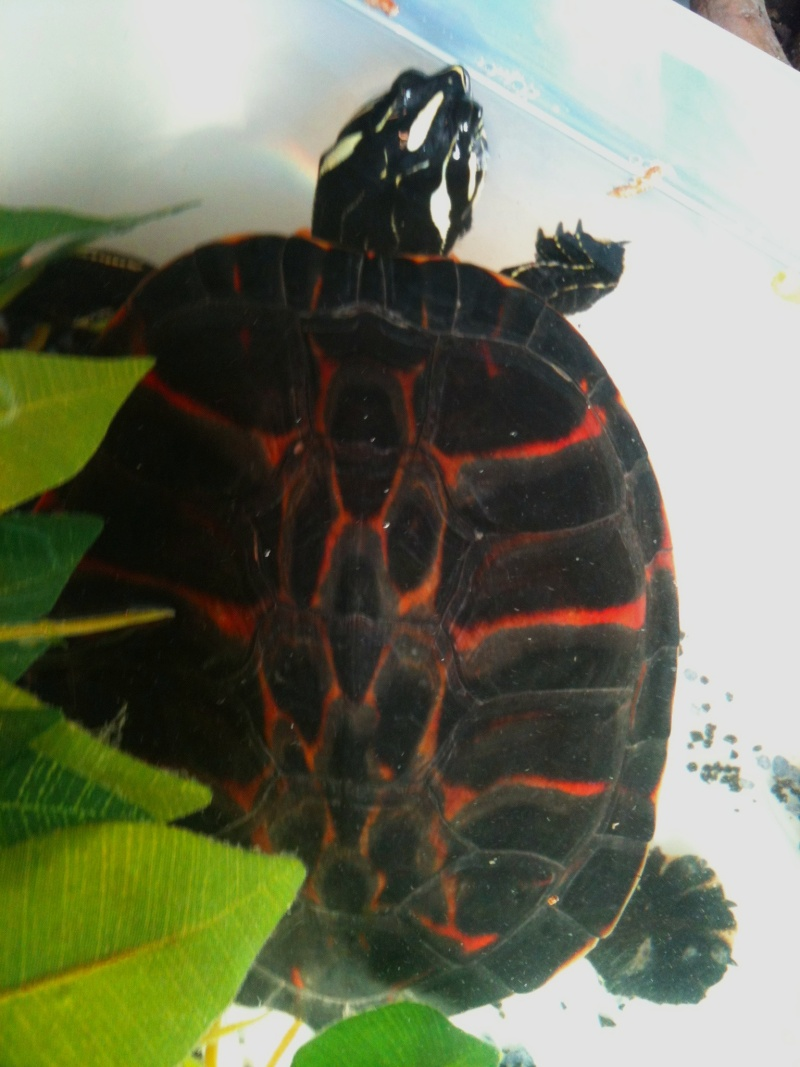 trachemys souche pure ? 06310