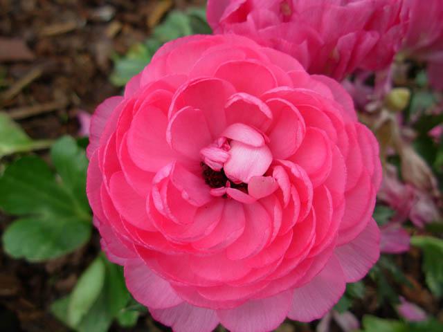 32 - La couleur rose !!! - Page 7 Dscn0624