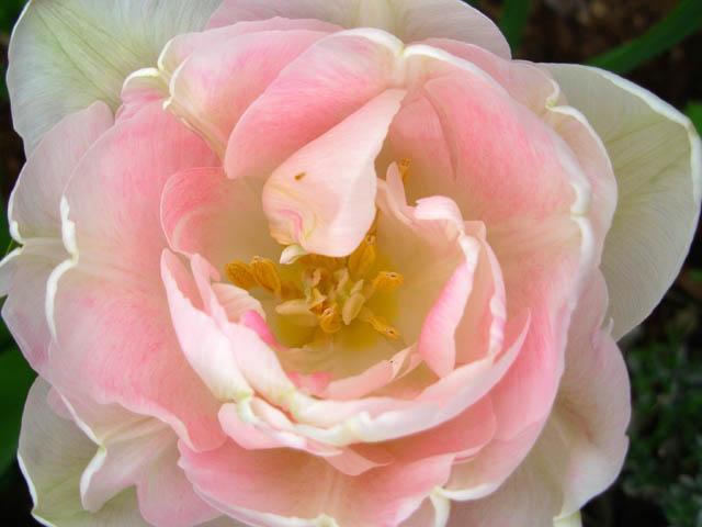 32 - La couleur rose !!! - Page 7 Dscn0625