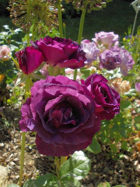 rosa mystérieuse - Page 3 Dscn7962