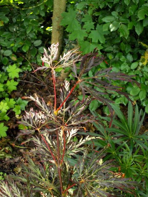Acer palmatum 'Dissectum' !!! - Page 2 Dscn8064