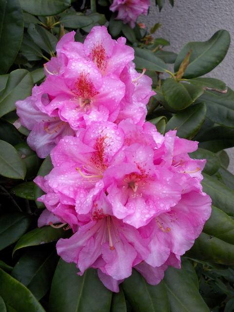 32 - La couleur rose !!! - Page 6 Dscn8160