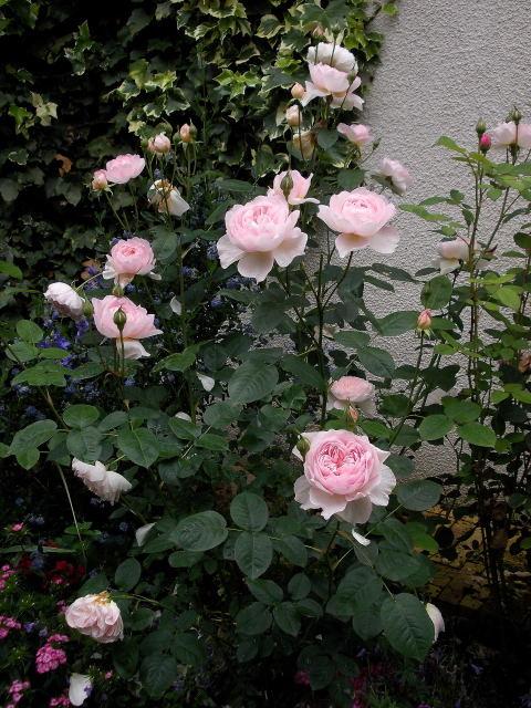 """rosa """"Gentle Hermione"""" - Page 2 Dscn8242"""