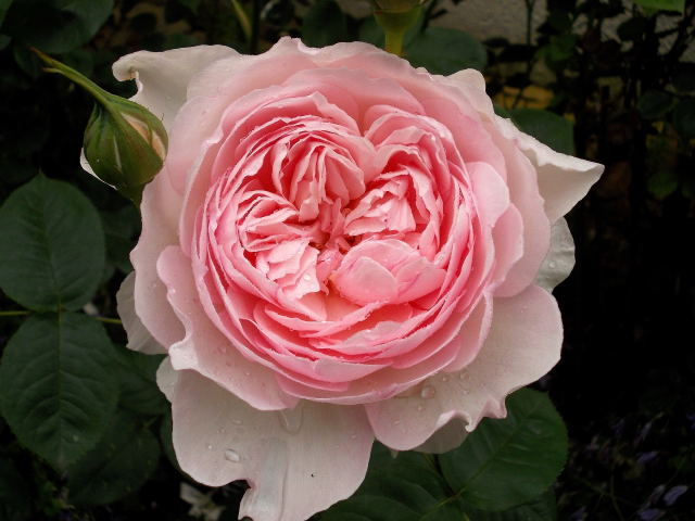 """rosa """"Gentle Hermione"""" - Page 2 Dscn8244"""