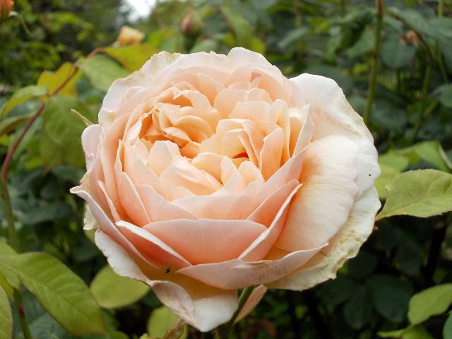 le jardin des rosiers (86) Dscn8448