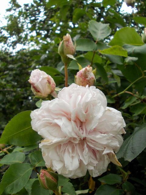 le jardin des rosiers (86) Dscn8453