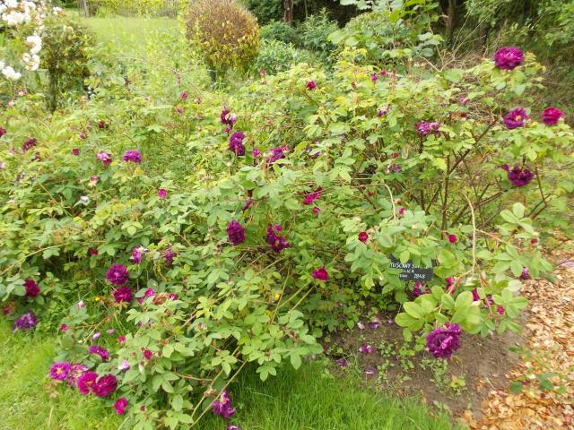 le jardin des rosiers (86) Dscn8457