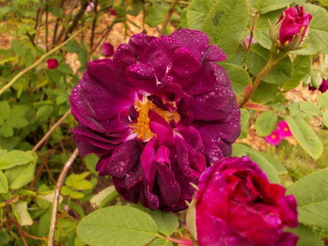 le jardin des rosiers (86) Dscn8458