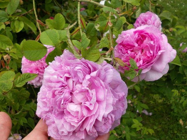 le jardin des rosiers (86) Dscn8463
