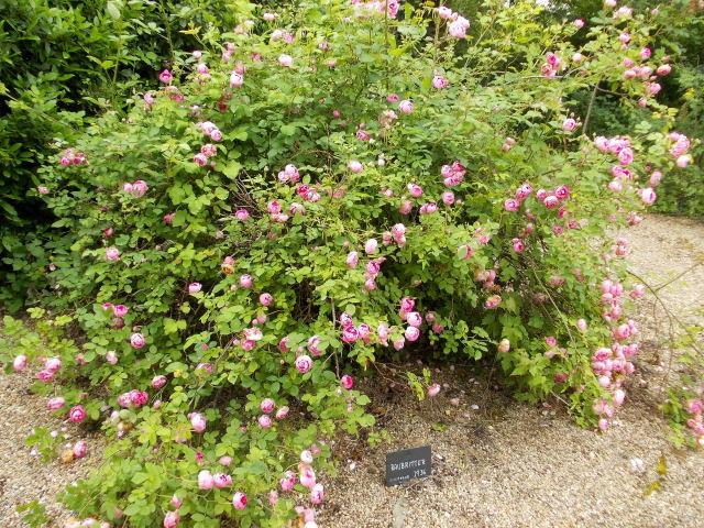 le jardin des rosiers (86) Dscn8465