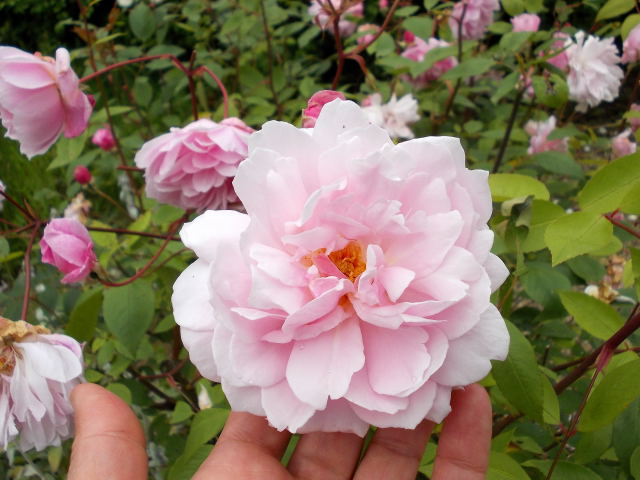 le jardin des rosiers (86) Dscn8468