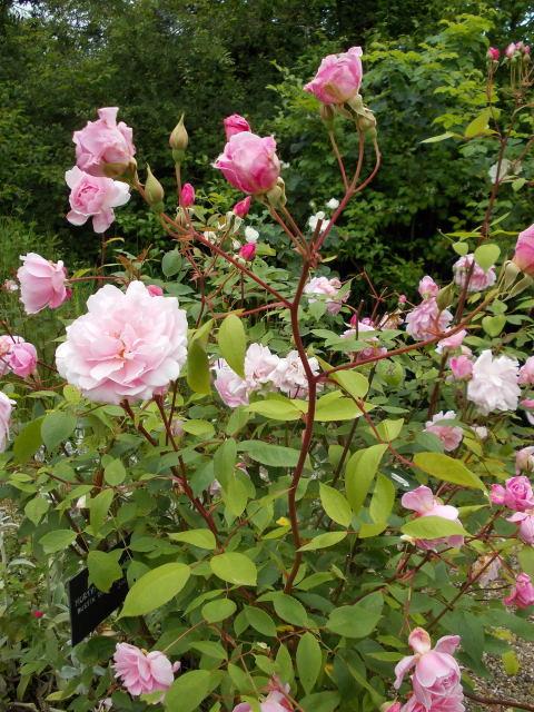 le jardin des rosiers (86) Dscn8469