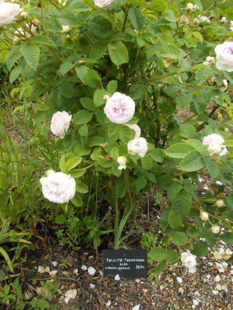 le jardin des rosiers (86) Dscn8470