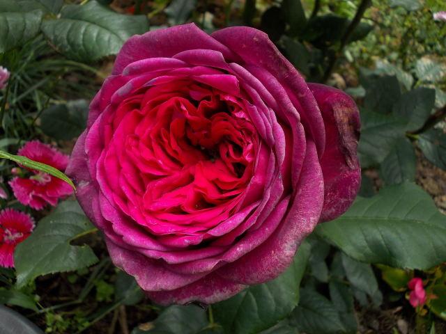 Rosa Parfum de Honfleur  Dscn8620