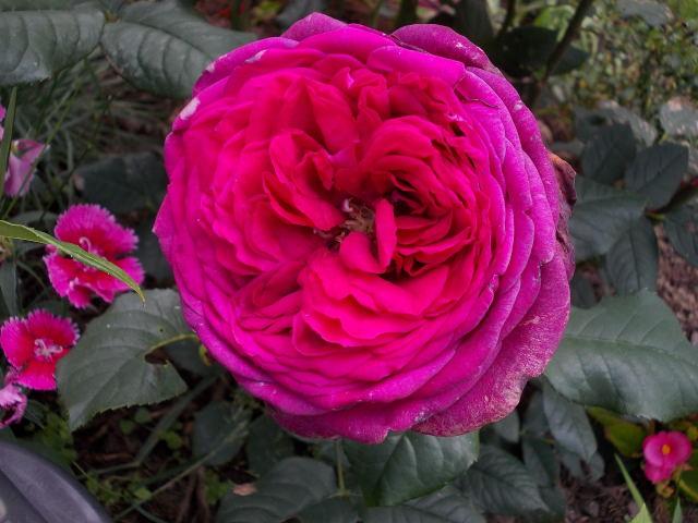 Rosa Parfum de Honfleur  Dscn8626