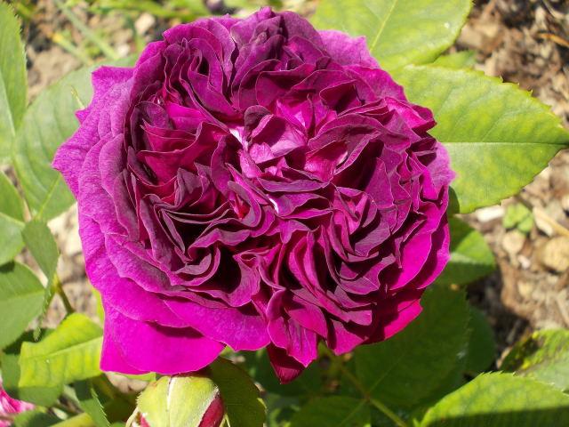Rosa Purple Lodge  - Page 3 Dscn8711