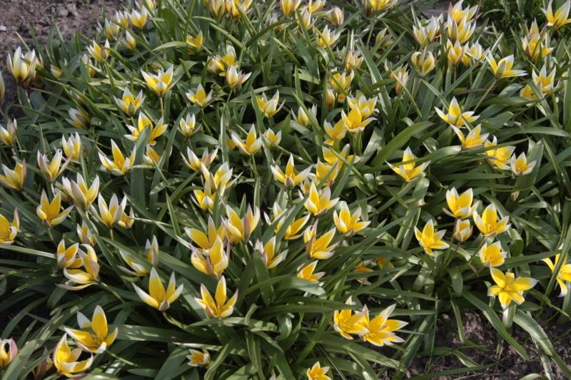 Erste Frühlingsboten im Garten und in Wald und Flur - Seite 95 Img_0016