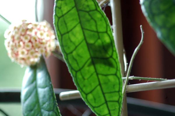 Hoya finlaysonii 112