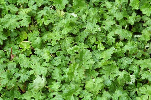 Geranium sp. 2 [id. non terminée] Biokov10