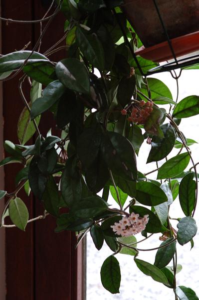 Hoya carnosa  - Page 2 Carnos10