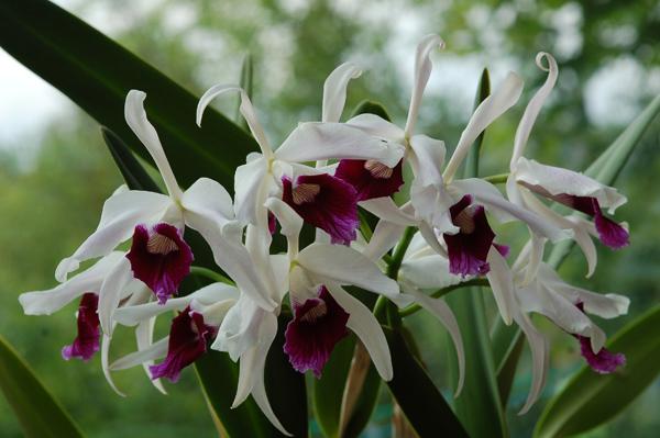 Cattleya purpurata var. werkauseri Catt_p12