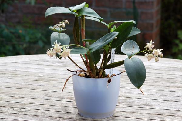 Dendrobium 'Lutin blanc' Dendro13
