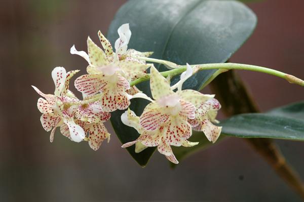 Dendrobium 'Lutin blanc' Dendro14