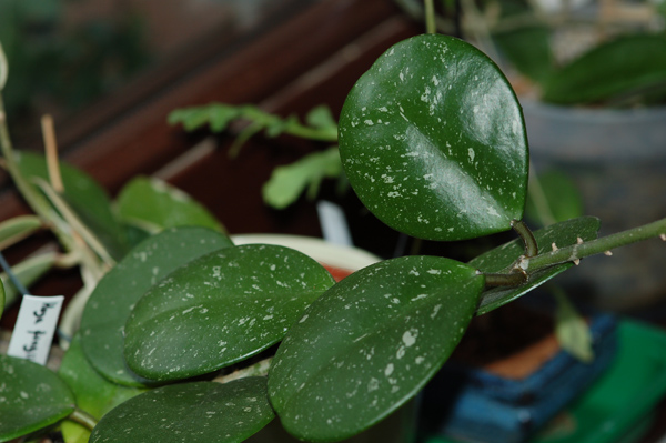 Hoya - les feuillages Fungii10