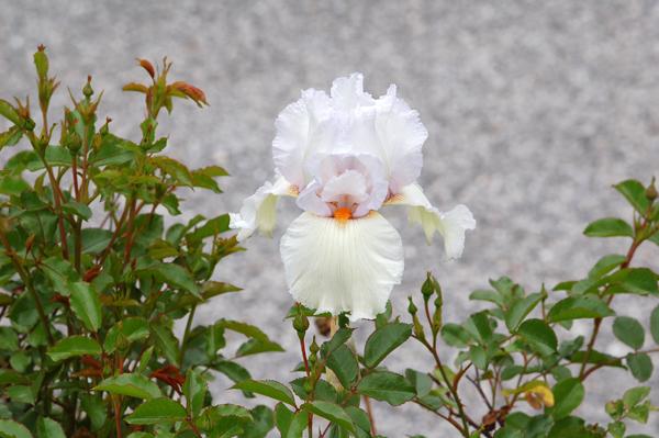 Floraisons de nos Iris barbus 2013 - Page 8 Iris14