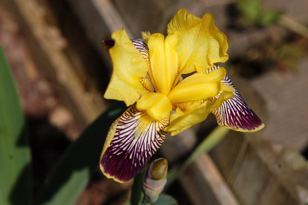 Floraisons de nos Iris barbus 2013 - Page 7 Iris_n10