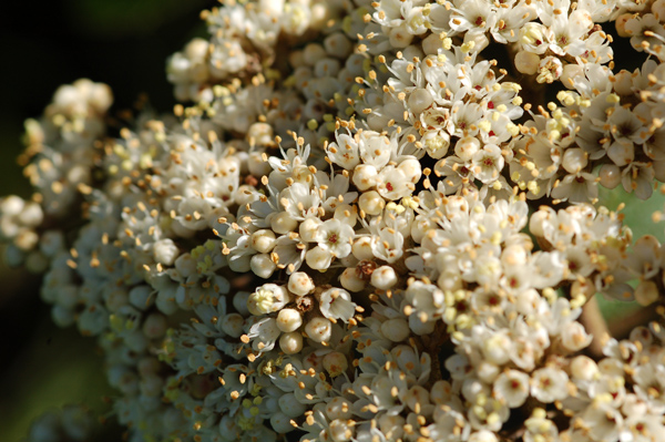 Viburnum rhytidophyllum Vi_rhy12