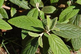 Viburnum rhytidophyllum Vib_rh10