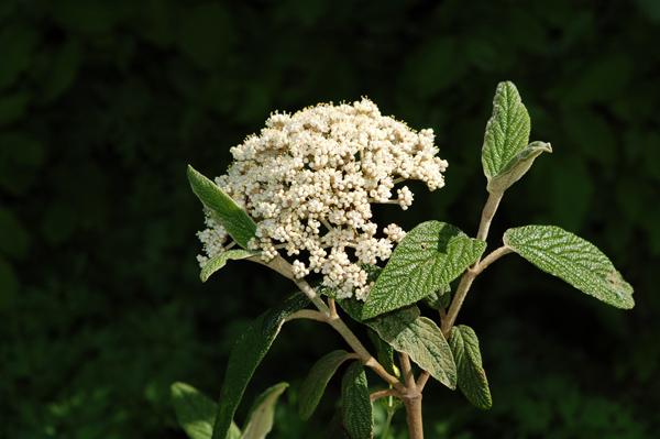 Viburnum rhytidophyllum Vib_rh11