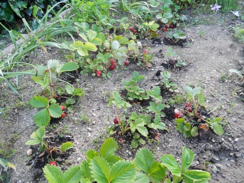 la culture du fraisier - Page 7 00118