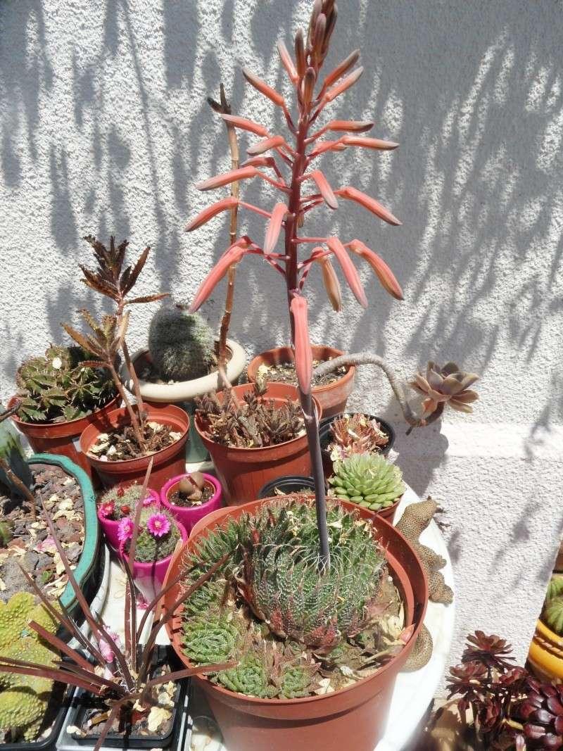 Floraisons de succulentes et cactées - Page 17 01812