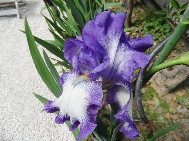 Les iris -culture, multiplication, entretien, variétés. - Page 2 02510
