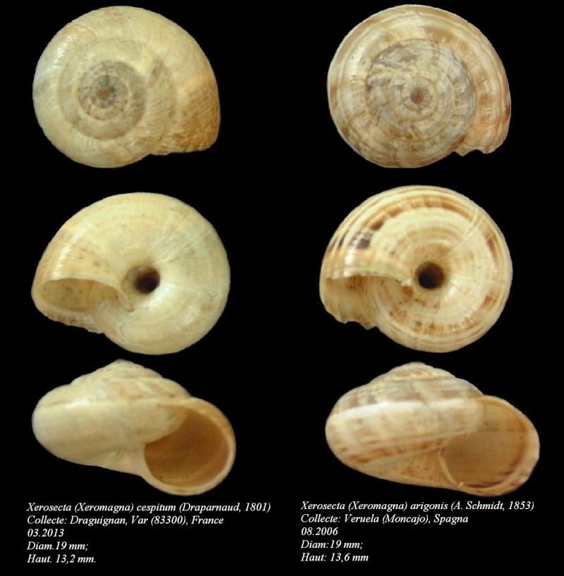 Xerosecta cespitum (Draparnaud, 1801) Copy_311