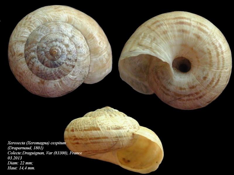 Xerosecta cespitum (Draparnaud, 1801) Xerose10