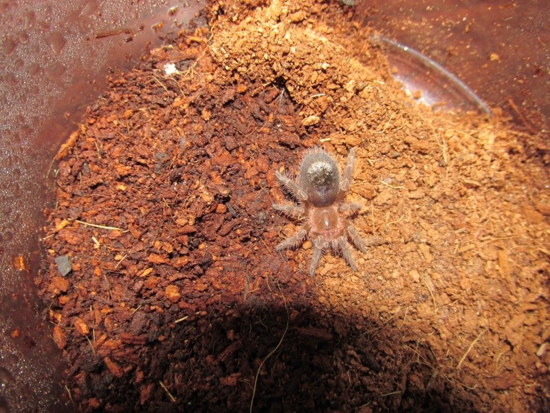 G. pulchripes sling. before and after molt pics..... 00710