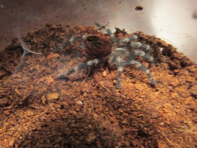 A. geniculata sling....molted last night.... 02111