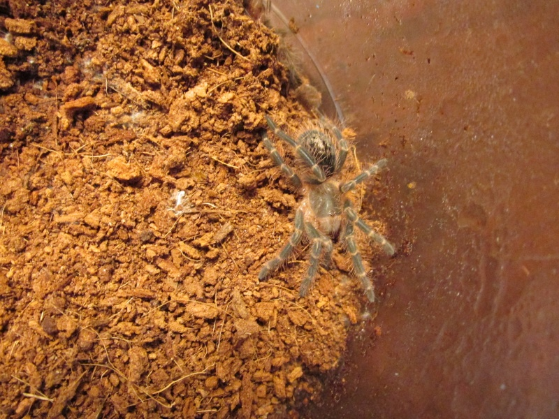 G. pulchripes sling. before and after molt pics..... 02410