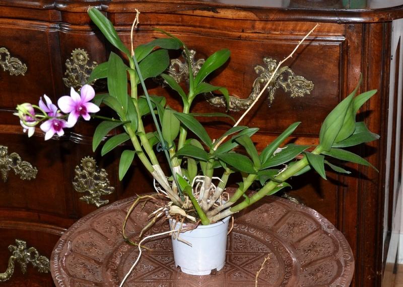 Dendrobium type phalaenopsis Dendro10
