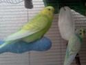 Ma perruche est toujours dans son nid  Img51912