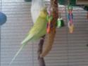Ma perruche est toujours dans son nid  Img52010