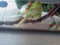 Ma perruche est toujours dans son nid  Img52210